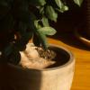 Jade plant on wood floor – Timelapse Boston